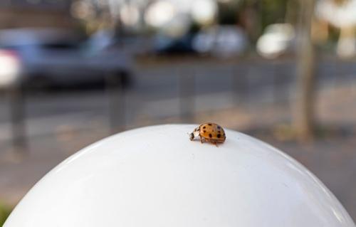 ladybug in Paris
