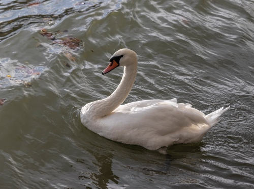 Mute Swan in Paris