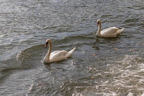 Mute Swans in Paris