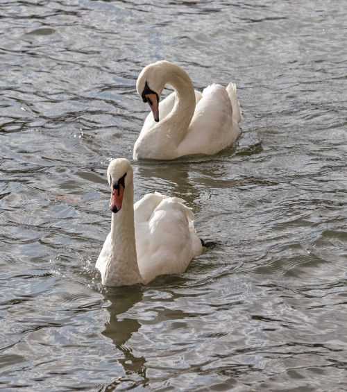 Mute Swans on the Seine