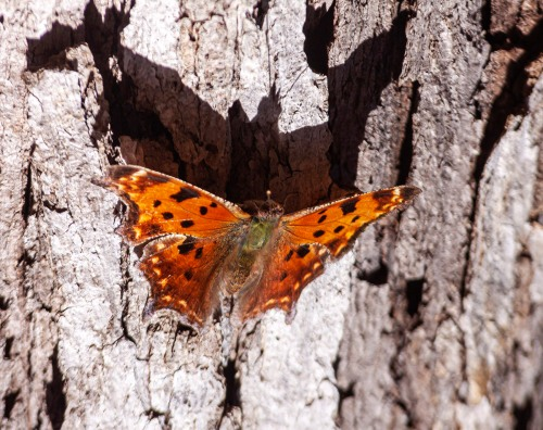 Eastern Comma butterflyy