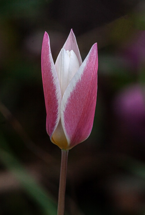 Lady Jane Tulip