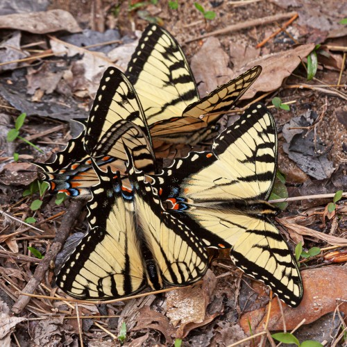 Eastern Tiger Swallowtails