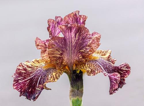 Bewilderbeast iris