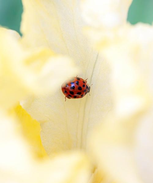 ladybug in iris
