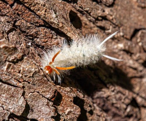 Sycamore Tussock caterpillar