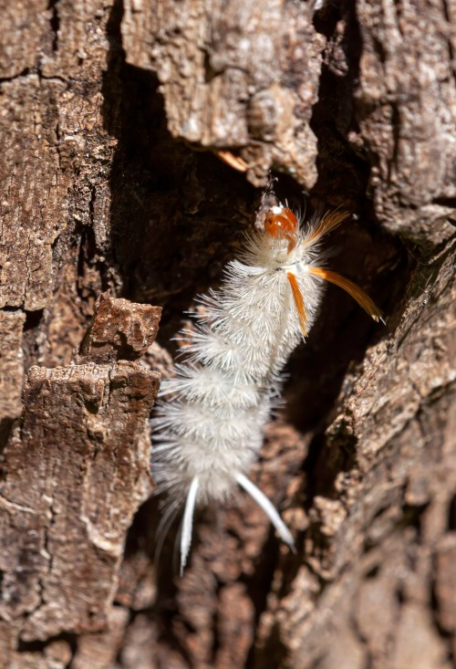 Sycamore Tussock caterpillar