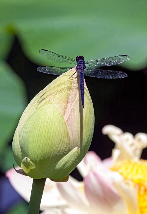 slaty skimmer on lotus bud