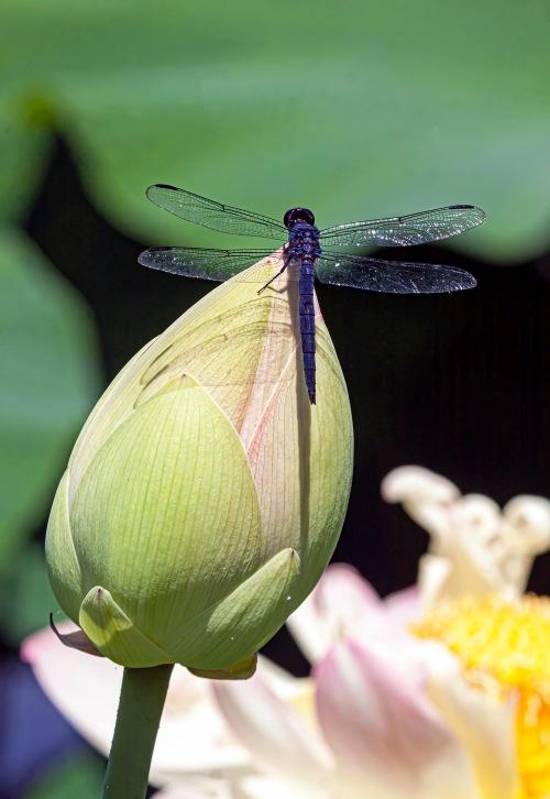 slaty skimmer on lotus bud