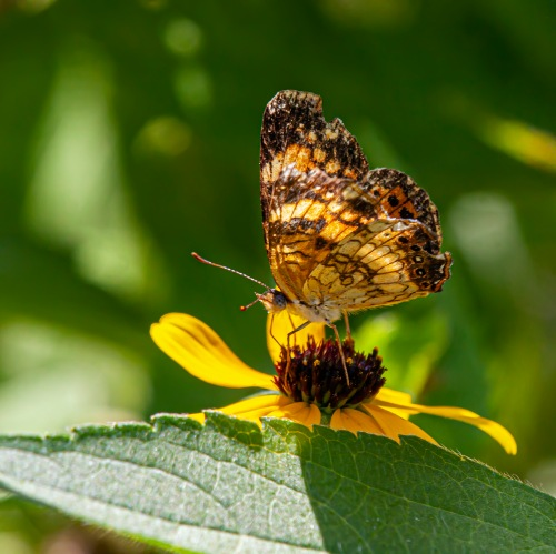 Silvery Checkerspot