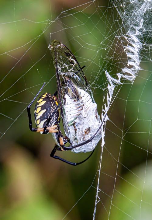 Spider and cicada