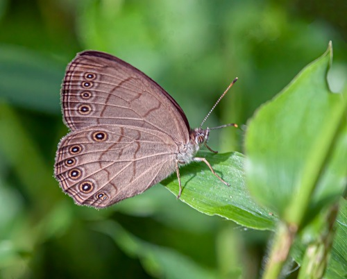 Appalachian Brown