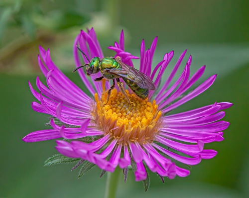 sweat bee