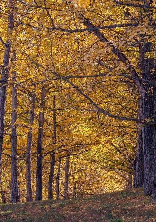 ginkgo grove