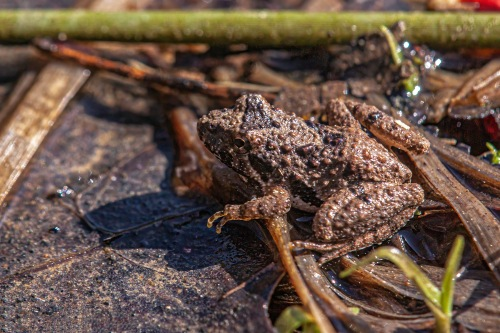 Eastern Cricket Frog