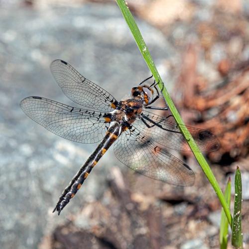 Uhler's Sundragonfly