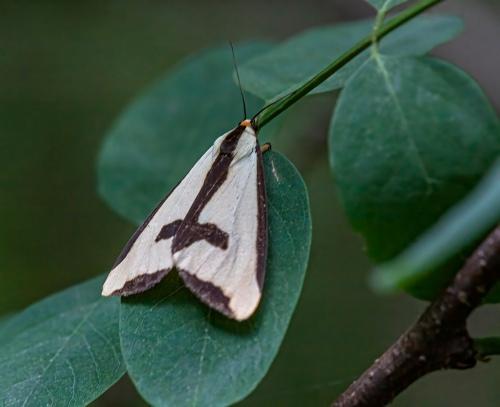 Crusader Moth