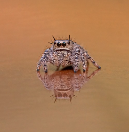 Putnam's Jumping Spider